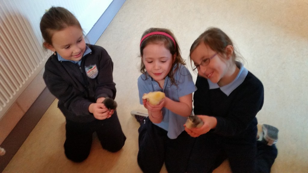 Nugget, Sicín and PJ on their last day in Scoil Choca, before returning to mother hen in Kilkenny.